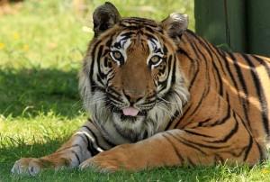 tiger-164926_640